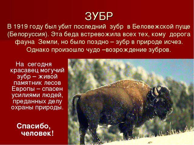 ЗУБР В 1919 году был убит последний зубр в Беловежской пуще (Белоруссия). Эт...