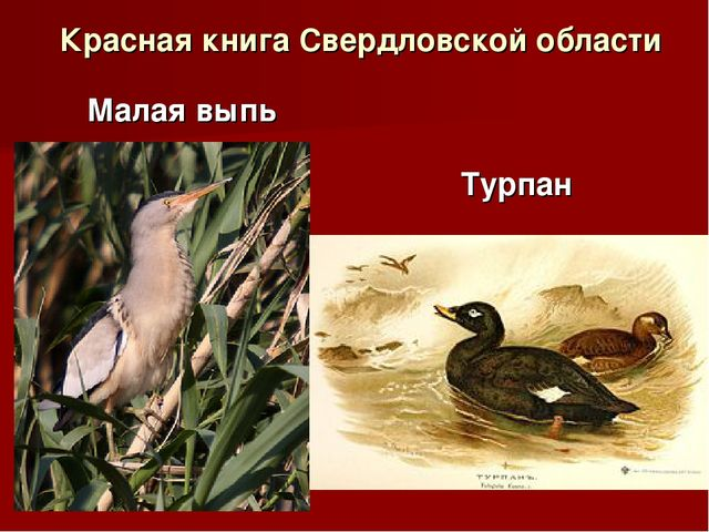 Красная книга Свердловской области Малая выпь Турпан