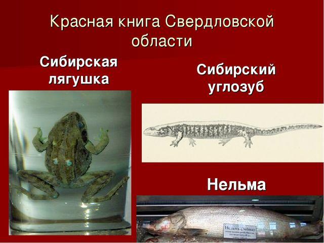 Красная книга Свердловской области Сибирская лягушка Сибирский углозуб Нельма