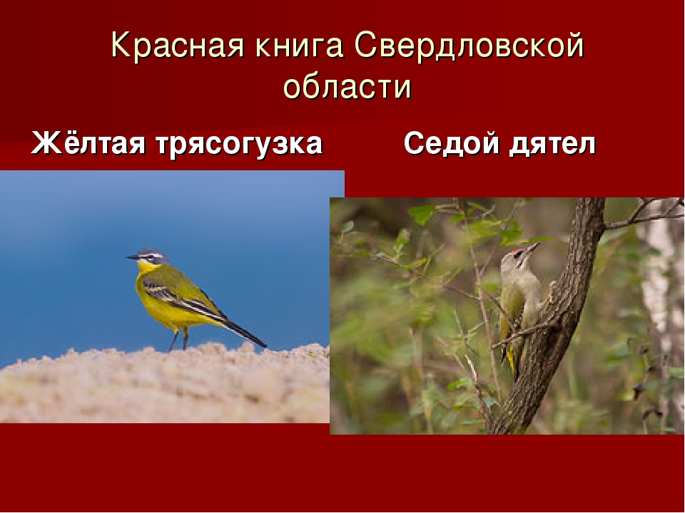 Красная книга Свердловской области Жёлтая трясогузка Седой дятел