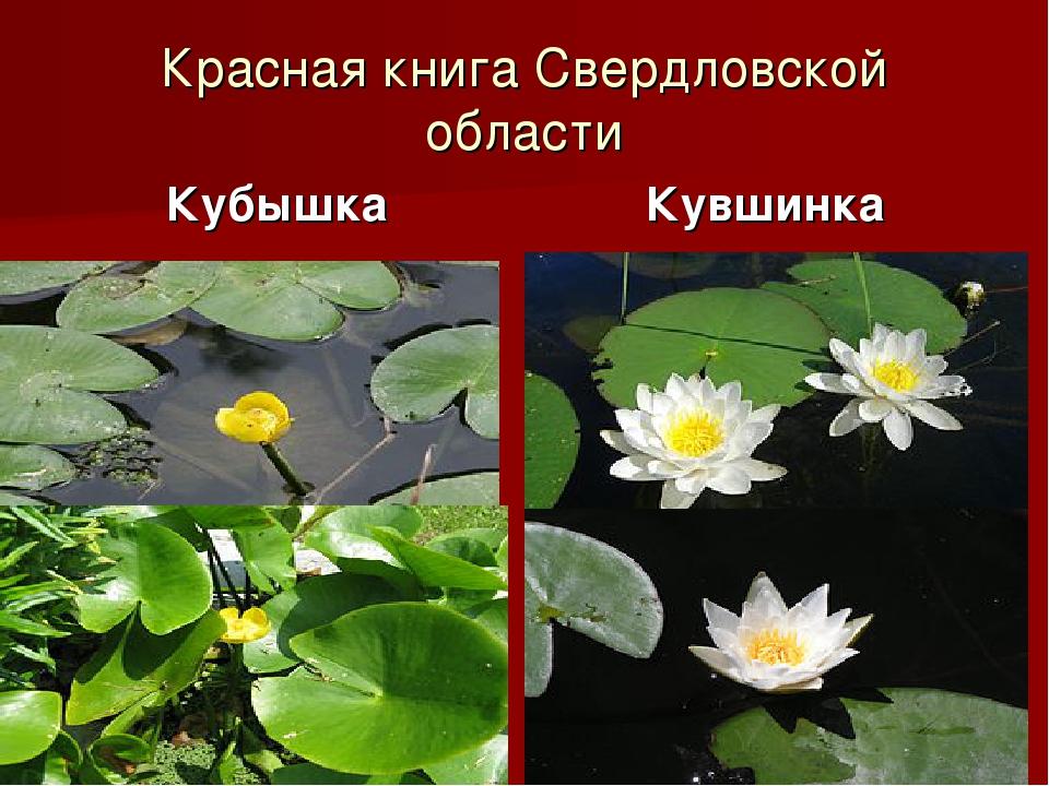 Красная книга Свердловской области Кубышка Кувшинка