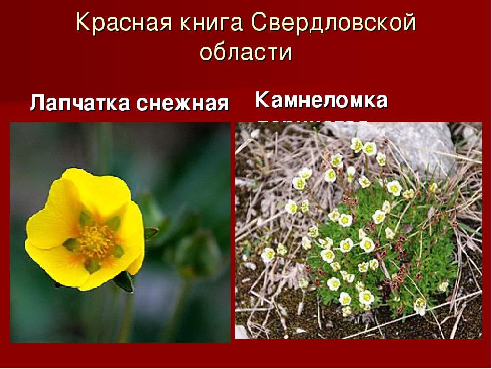 Красная книга Свердловской области Лапчатка снежная Камнеломка дернистая