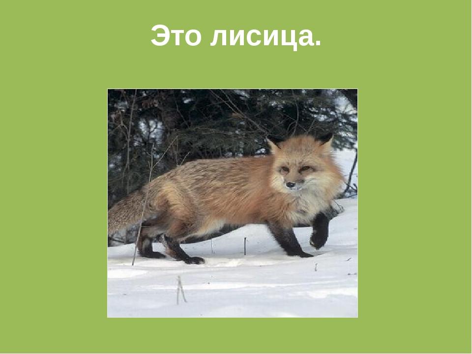 Это лисица.