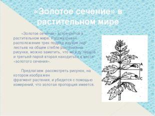 «Золотое сечение» встречается в растительном мире. Рассматривая расположение