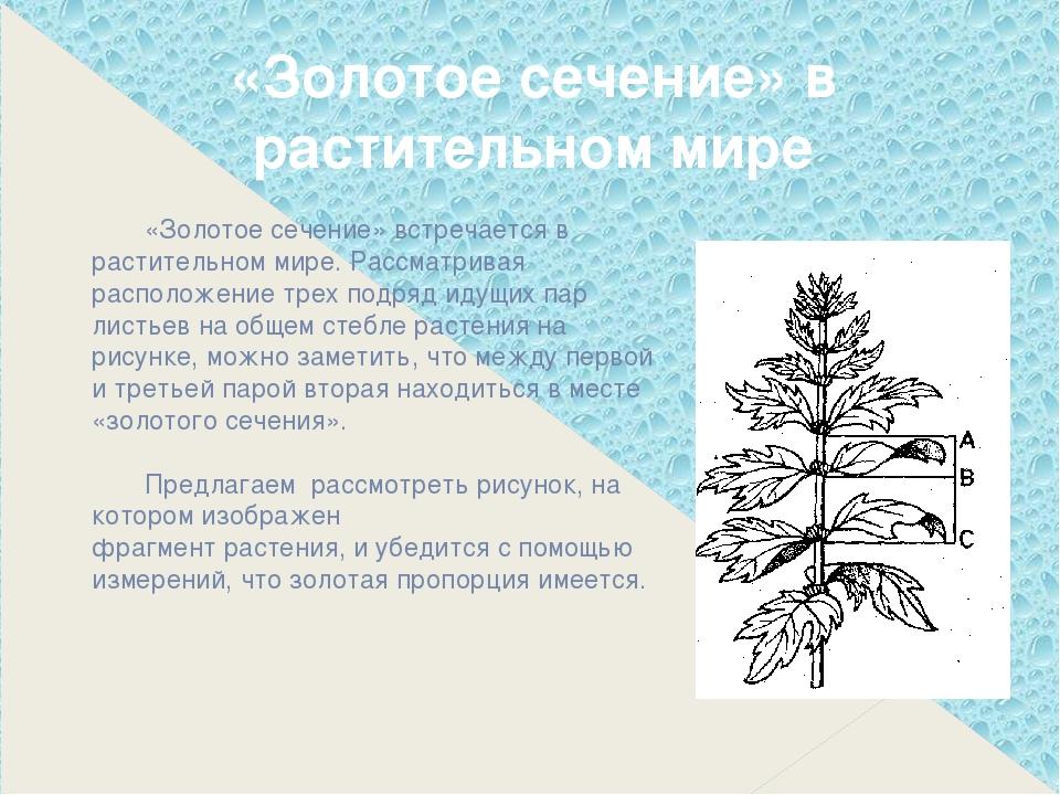 «Золотое сечение» встречается в растительном мире. Рассматривая расположение...