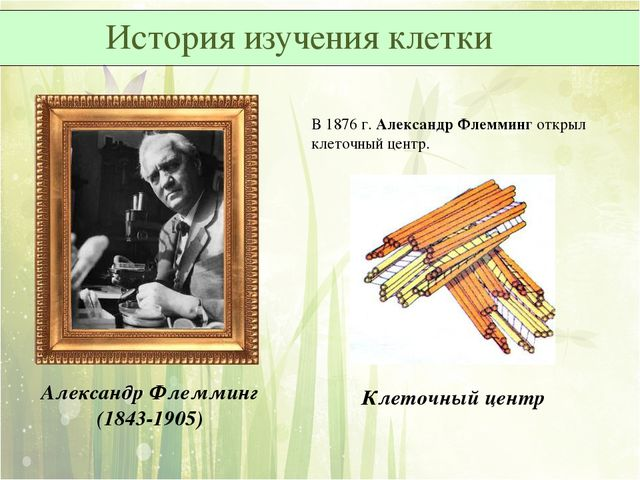 В 1876 г. Александр Флемминг открыл клеточный центр. Александр Флемминг (1843...