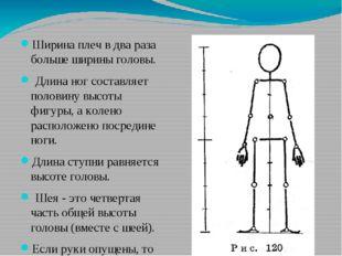 Ширина плеч в два раза больше ширины головы. Длина ног составляет половину в