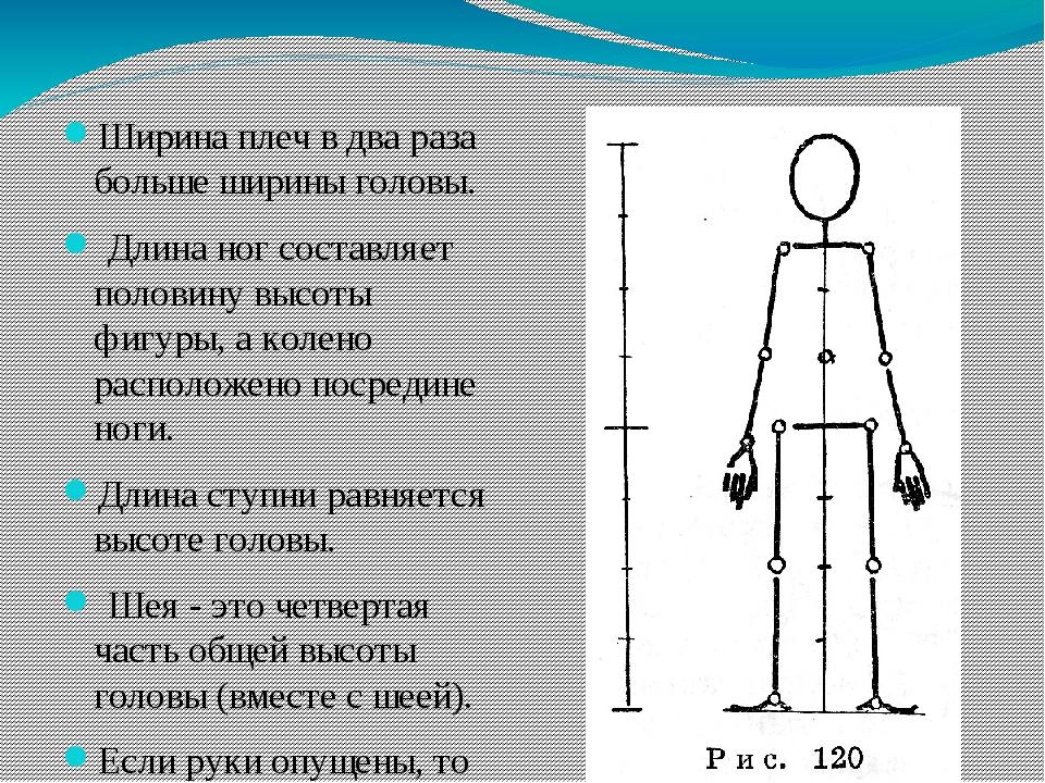 Ширина плеч в два раза больше ширины головы. Длина ног составляет половину в...