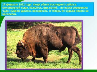 19 февраля 1921 года люди убили последнего зубра в Беловежской пуще. Казалось