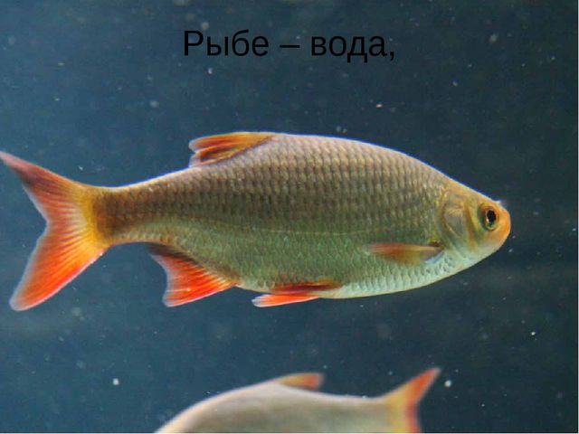 Рыбе – вода,