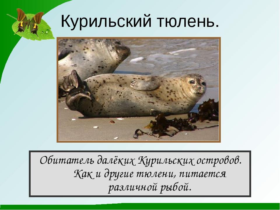 Курильский тюлень. Обитатель далёких Курильских островов. Как и другие тюлени...