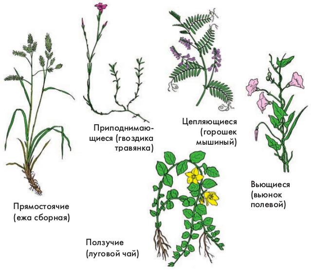 Место на стебле двудольного растения где происходит рост стебля в длину