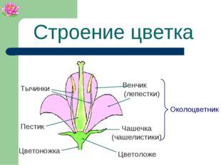 Строение цветка Чашечка (чашелистики) Венчик (лепестки) Околоцветник Пестик Т