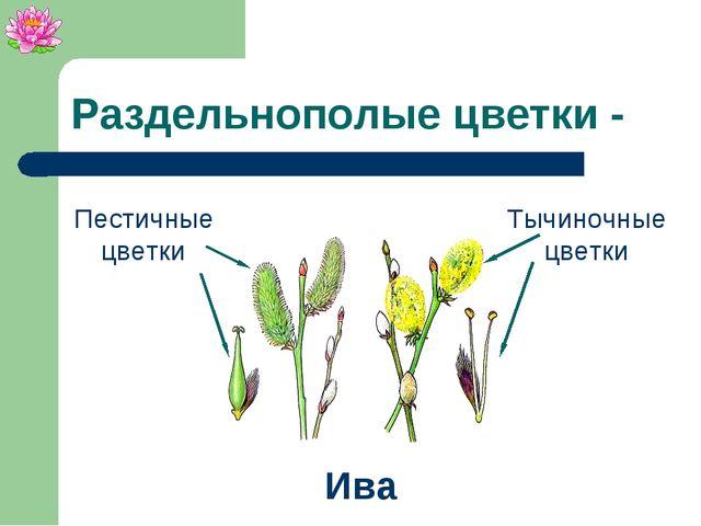 Тычиночные цветки Раздельнополые цветки - Ива Пестичные цветки