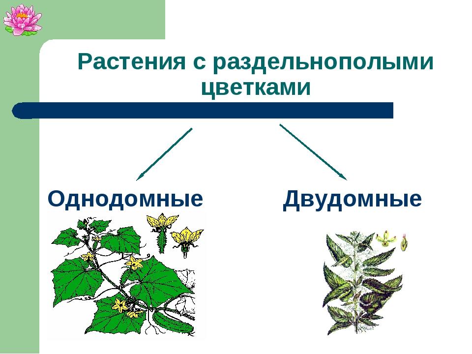 Растения с раздельнополыми цветками Однодомные Двудомные
