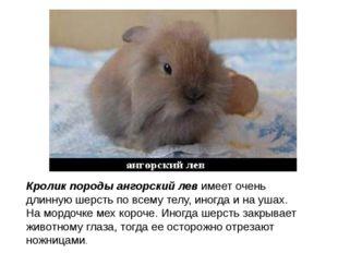 Кролик породы ангорский левимеет очень длинную шерсть по всему телу, иногда