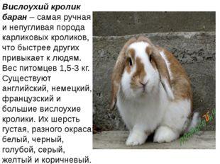 Вислоухий кролик баран– самая ручная и непугливая порода карликовых кроликов