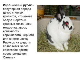 Карликовый русак– популярная порода декоративных кроликов, что имеет белую ш