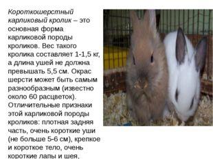 Короткошерстный карликовый кролик– это основная форма карликовой породы крол