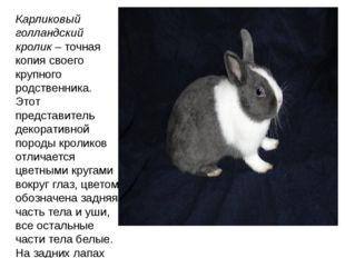 Карликовый голландский кролик– точная копия своего крупного родственника. Эт