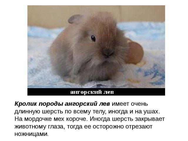 Кролик породы ангорский левимеет очень длинную шерсть по всему телу, иногда...