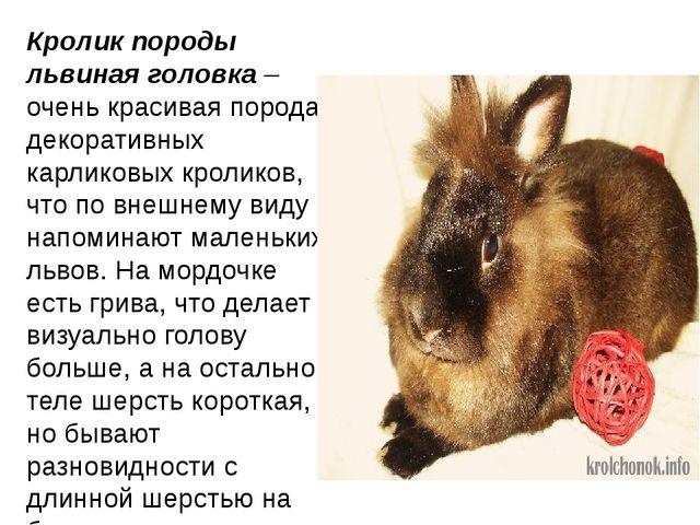 Кролик породы львиная головка– очень красивая порода декоративных карликовых...