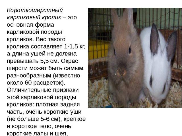 Короткошерстный карликовый кролик– это основная форма карликовой породы крол...