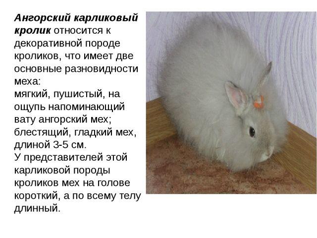 Ангорский карликовый кроликотносится к декоративной породе кроликов, что име...