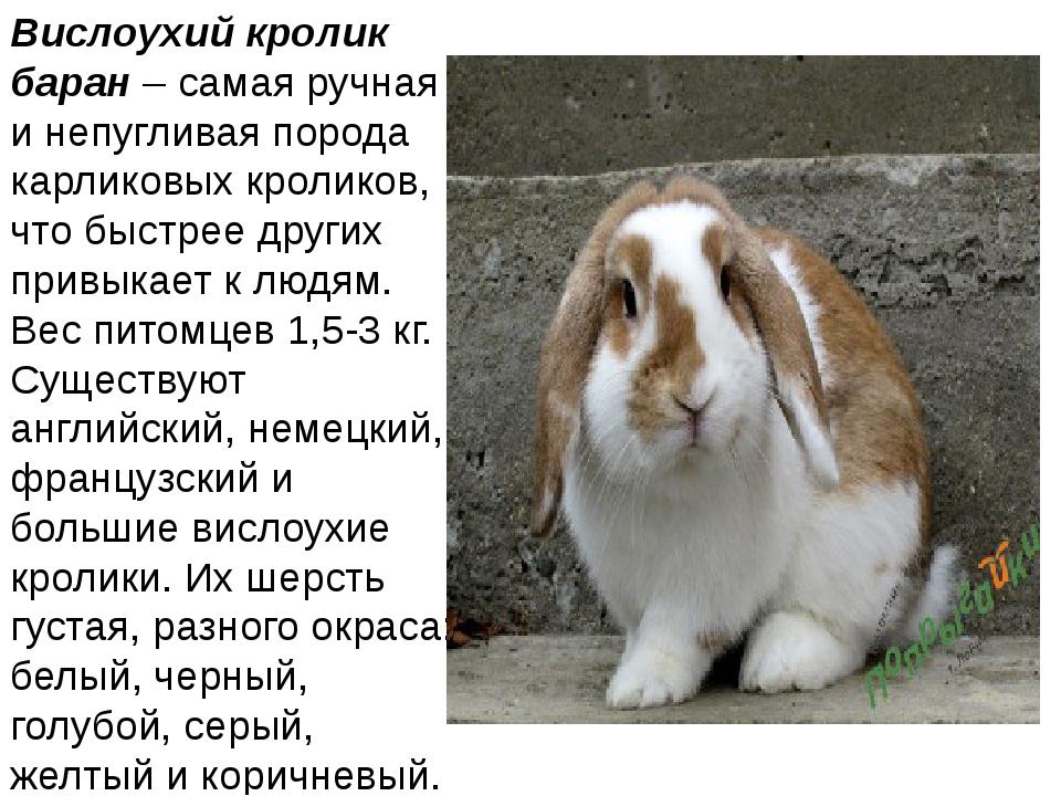 Вислоухий кролик баран– самая ручная и непугливая порода карликовых кроликов...
