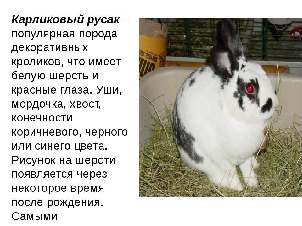 Карликовый русак– популярная порода декоративных кроликов, что имеет белую ш...