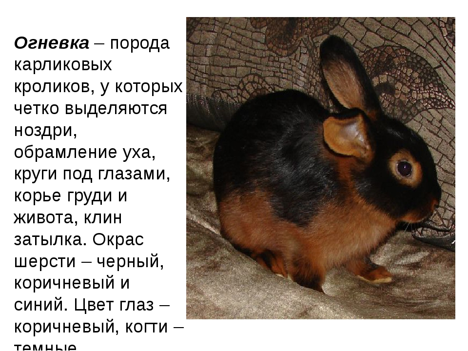 Огневка– порода карликовых кроликов, у которых четко выделяются ноздри, обра...