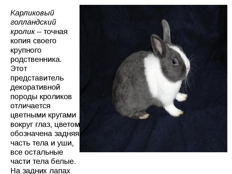 Карликовый голландский кролик– точная копия своего крупного родственника. Эт...