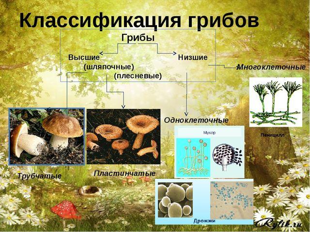 Классификация грибов Грибы Высшие Низшие (шляпочные) (плесневые) Трубчатые Пл...