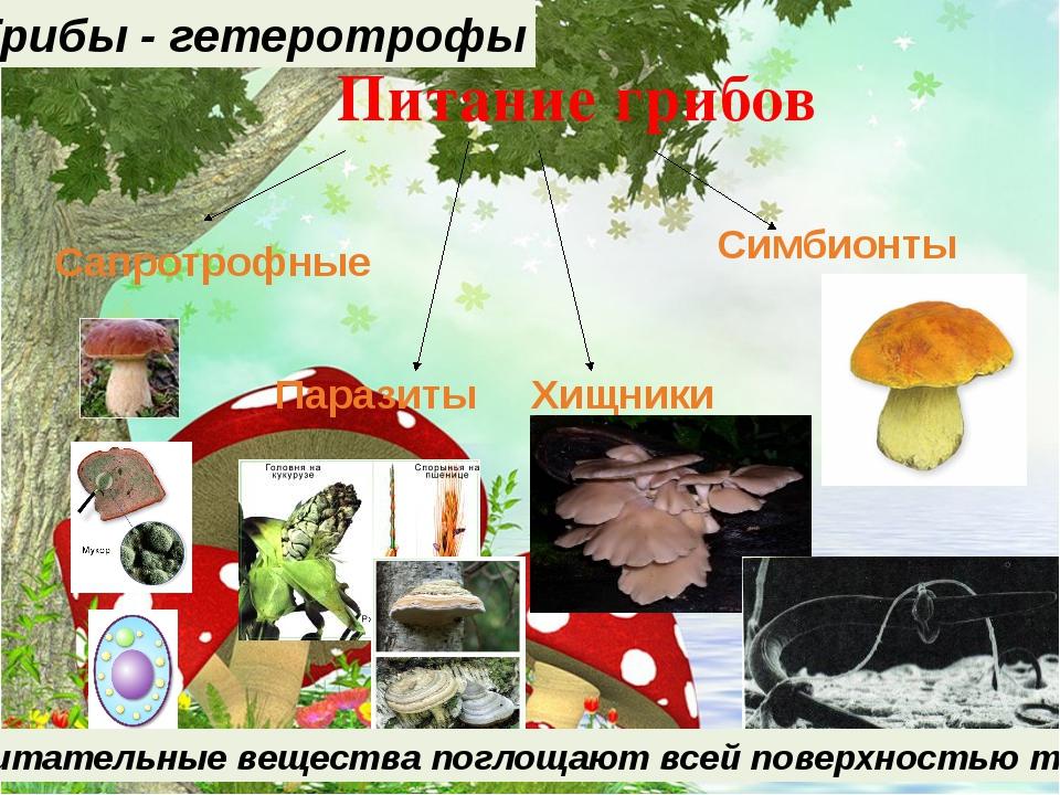 Питание грибов Гетеротрофы Питательные вещества поглощают всей поверхностью т...