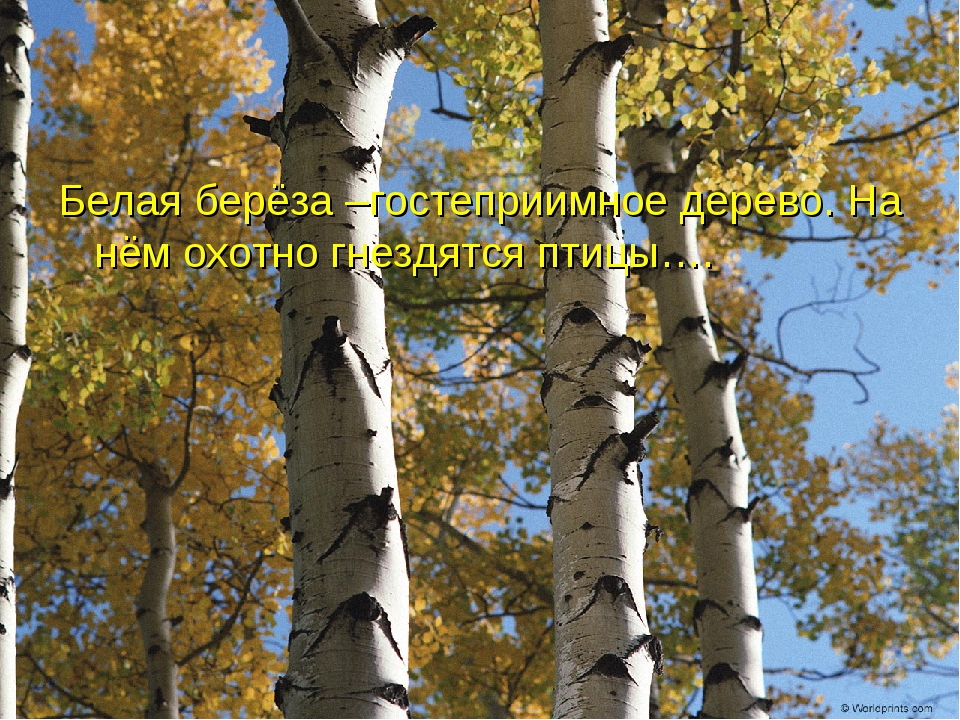 Белая берёза –гостеприимное дерево. На нём охотно гнездятся птицы….