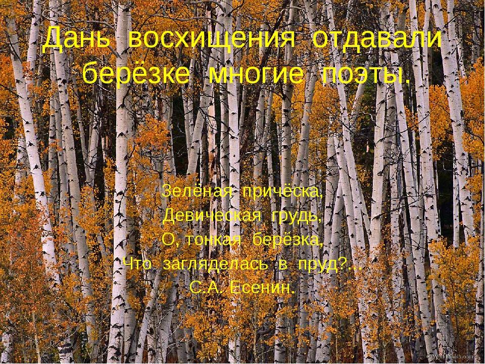 Дань восхищения отдавали берёзке многие поэты. Зелёная причёска, Девическая г...