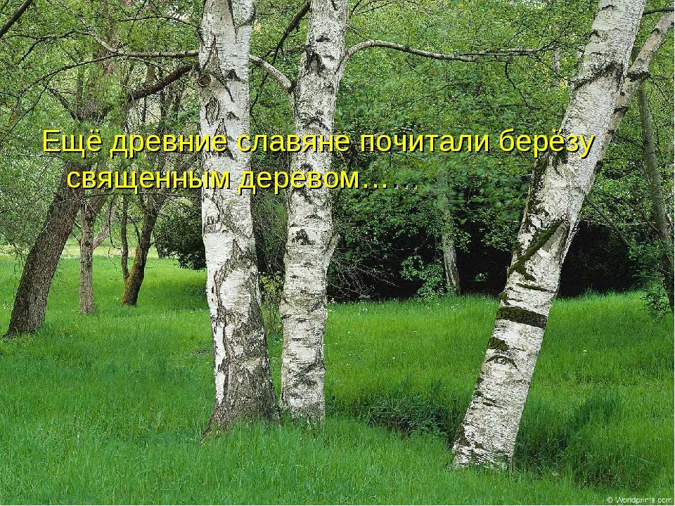 Ещё древние славяне почитали берёзу священным деревом……