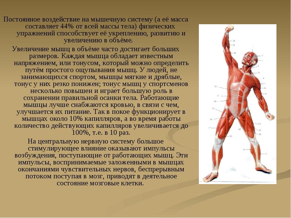 Постоянное воздействие на мышечную систему (а её масса составляет 44% от всей...