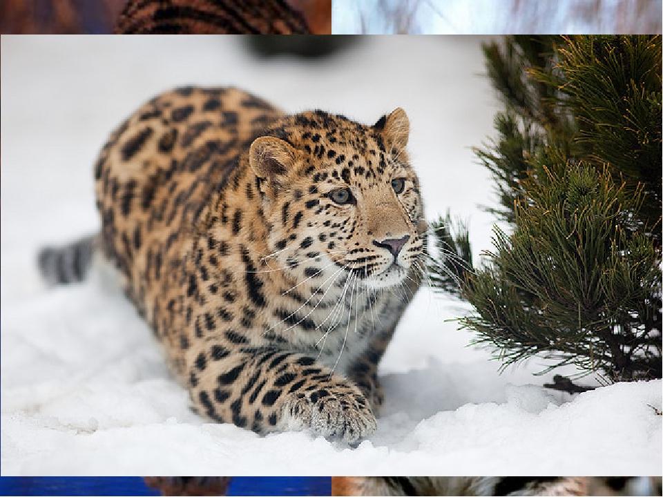 Сентябрь (последнее воскресенье)— День амурского тигра илеопарда Праздник о...
