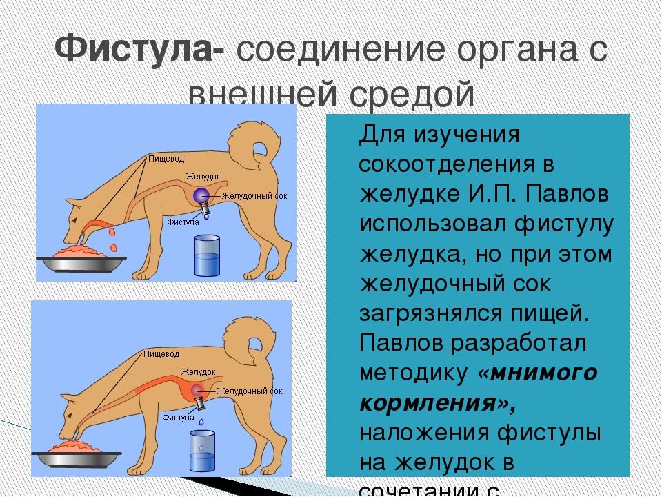 Фистула- соединение органа с внешней средой Для изучения сокоотделения в желу...