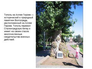 Тополь на Аллее Героев — исторический и природный памятник Волгограда, распол