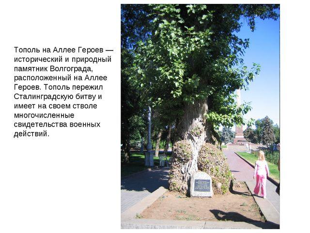 Тополь на Аллее Героев — исторический и природный памятник Волгограда, распол...