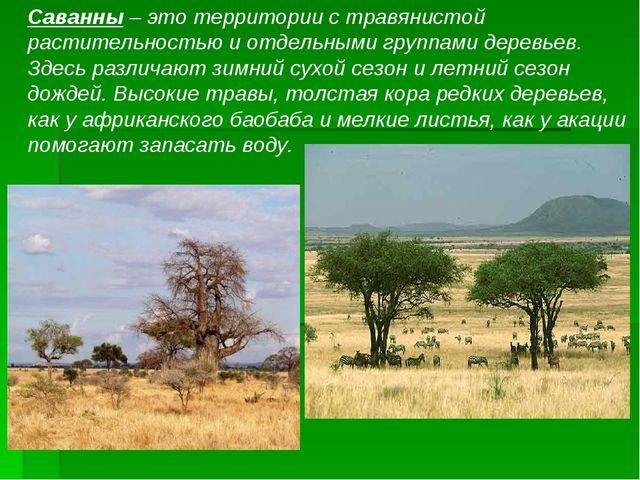 Саванны – это территории с травянистой растительностью и отдельными группами...