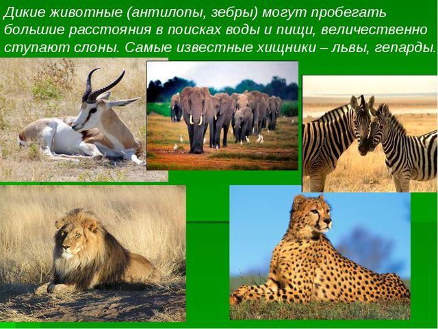 Дикие животные (антилопы, зебры) могут пробегать большие расстояния в поисках...