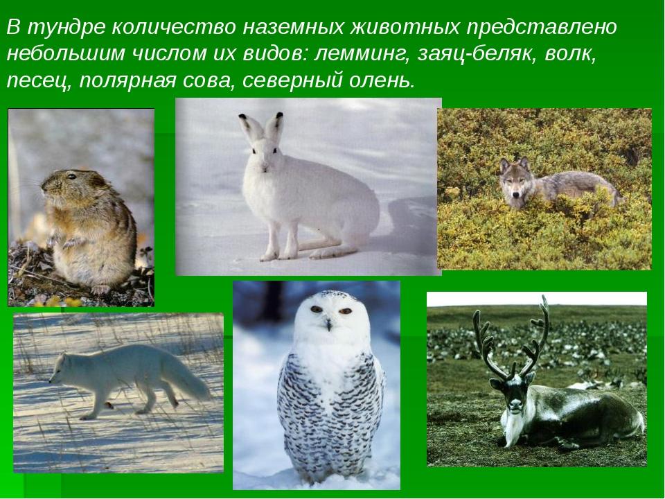 В тундре количество наземных животных представлено небольшим числом их видов:...