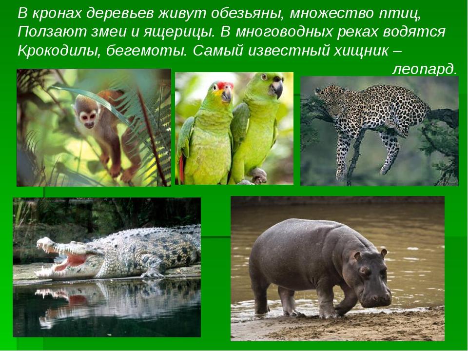 В кронах деревьев живут обезьяны, множество птиц, Ползают змеи и ящерицы. В м...