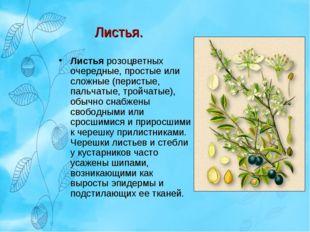 Листья. Листья розоцветных очередные, простые или сложные (перистые, пальчаты