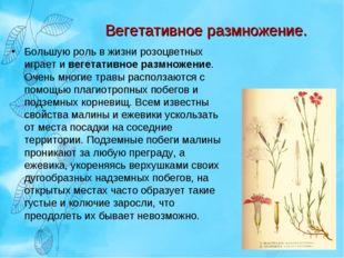 Вегетативное размножение. Большую роль в жизни розоцветных играет и вегетатив