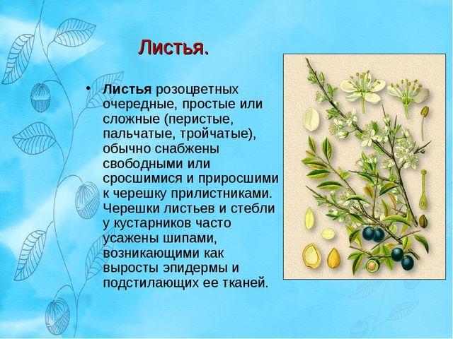 Листья. Листья розоцветных очередные, простые или сложные (перистые, пальчаты...