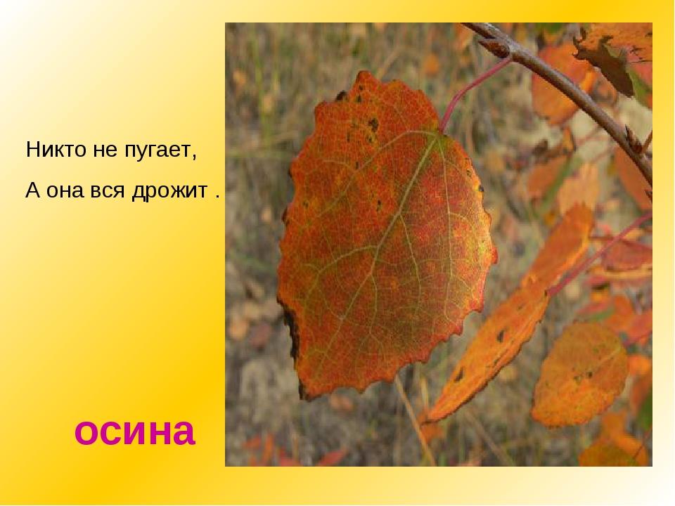 Как распознать дерево осина